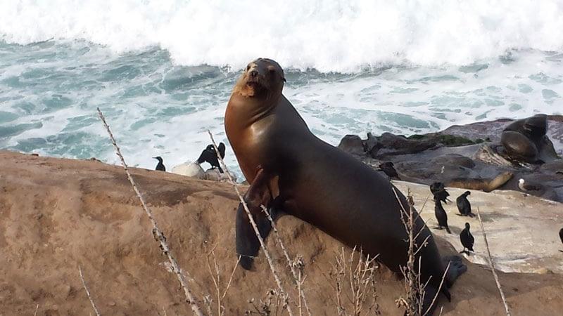 Seal basking on rocks at Seal Beach, La Jolla